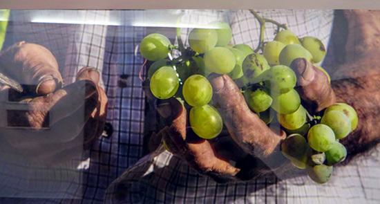 malaga-vineyard-hands