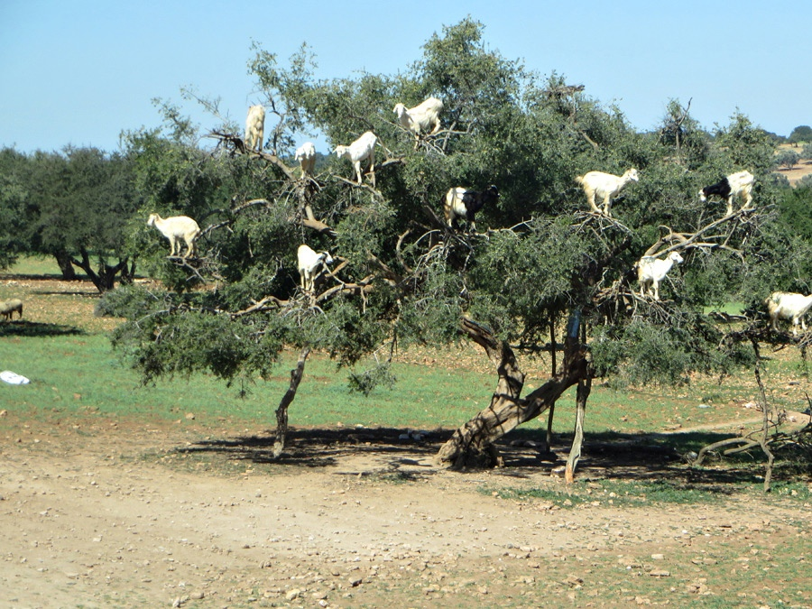 Essaouira - Goats in the trees